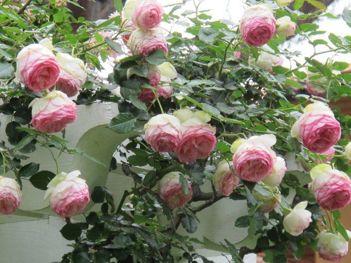 Цветущая роза сорта Пьер де Ронсар