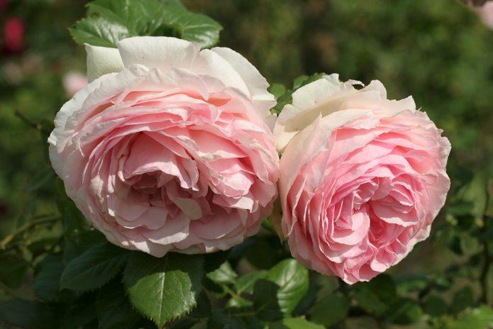 Цветы розы сорта Пьер де Ронсар