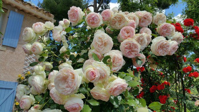 Цветение розы Пьер де Ронсар