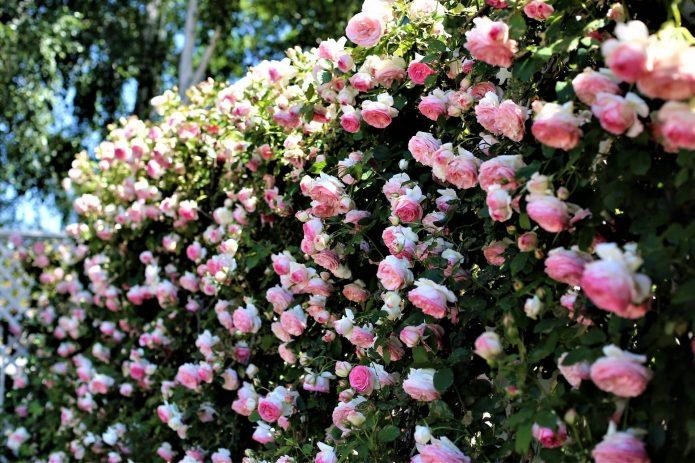 Живая изгородь из розы Пьер де Ронсар