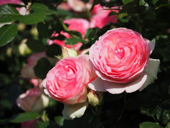 Роза Пьер де Ронсар на солнце