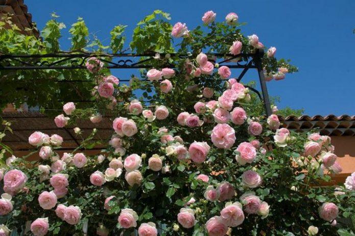 Роза Пьер де Ронсар на шпалере