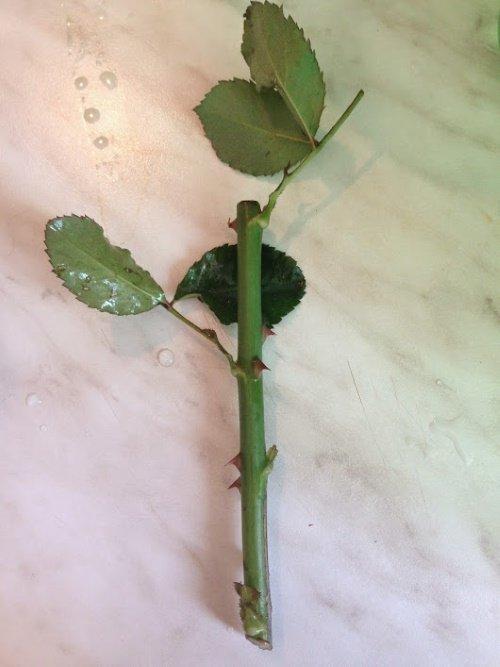 Черенок розы