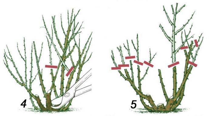 Обрезка чайно-гибридной розы осенью второго года и весной третьего