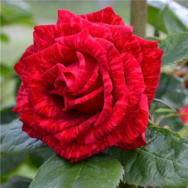 Цветок розы Рэд Интуишн