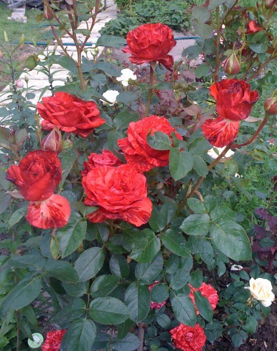 Куст роз Рэд Интуишн