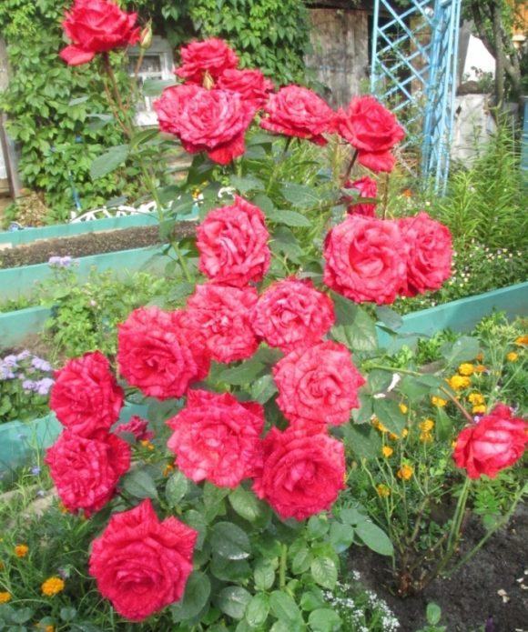 Цветущий куст роз Рэд Интуишн