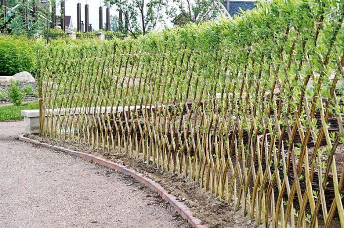 «Зелёный забор» из ивы