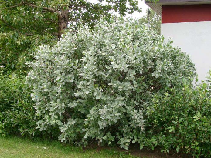 Ива мохнатая в живой изгороди