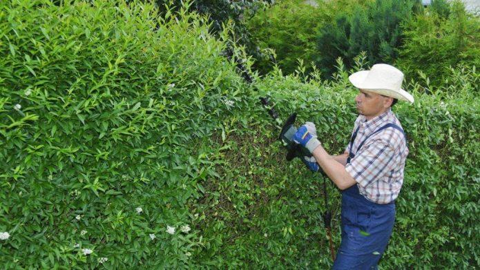 Обрезка живой изгороди из ивы