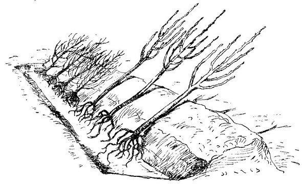 Прикопка саженцев