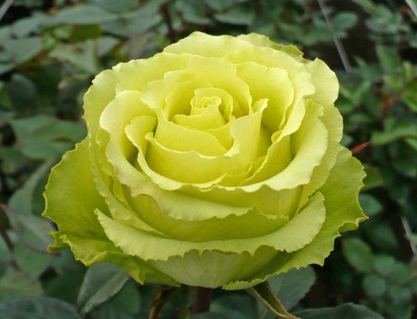 Лимбо: чайно-гибридный сорт роз необычного зелёного цвета