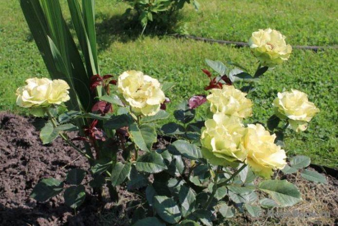 Роза Лимбо на солнце