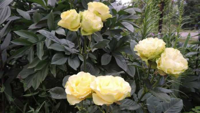 Куст роз Лимбо