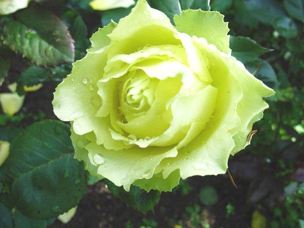 Цветок розы Лимбо
