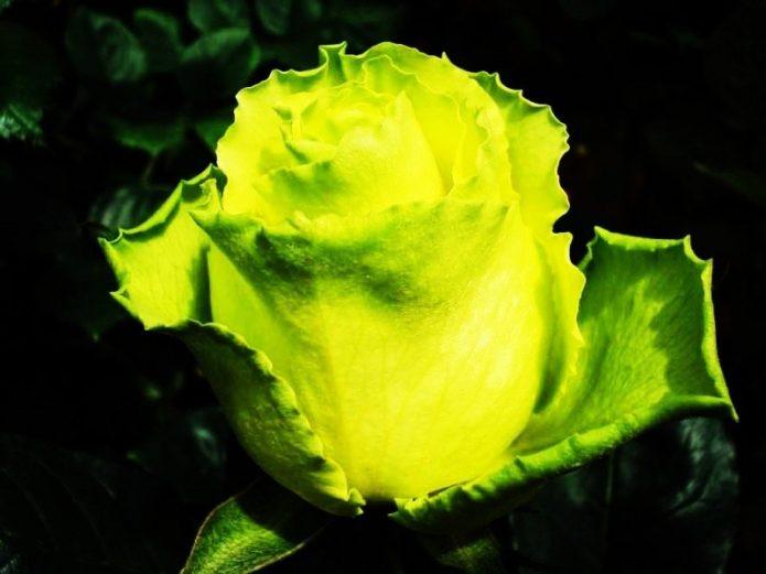 Бутон розы Лимбо