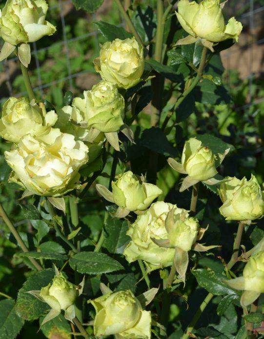 Цветущая роза Лимбо