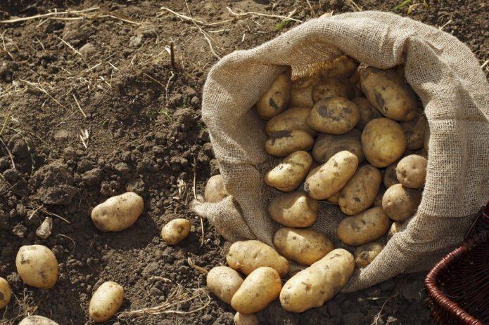 Картофель осенью