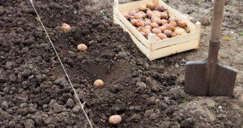 Посадка картофеля на второй урожай