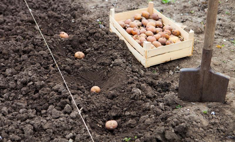 Проращиваем молодой картофель для второй посадки