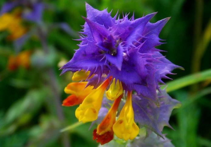 Цветок иван-да-марья
