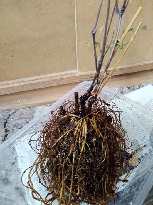 Саженец клематиса с открытой корневой системой