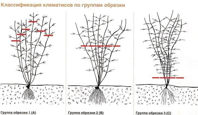 Обрезка клематисов разных групп