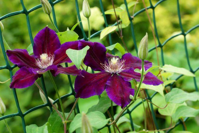 Два цветка на молодом клематисе Юлька