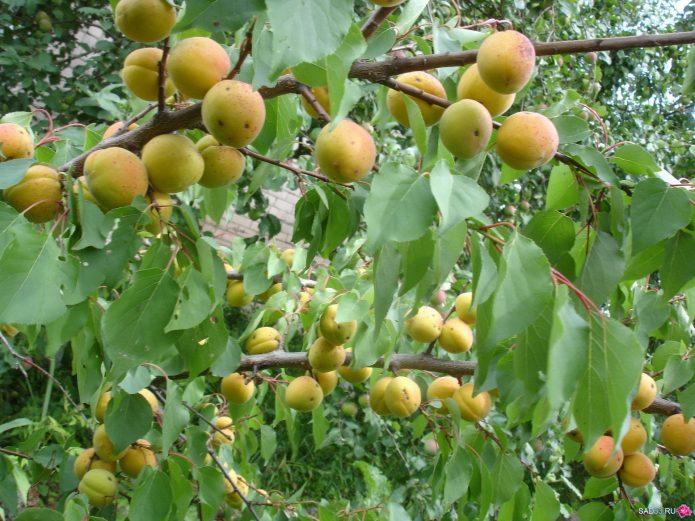 Ветви абрикоса Медовый