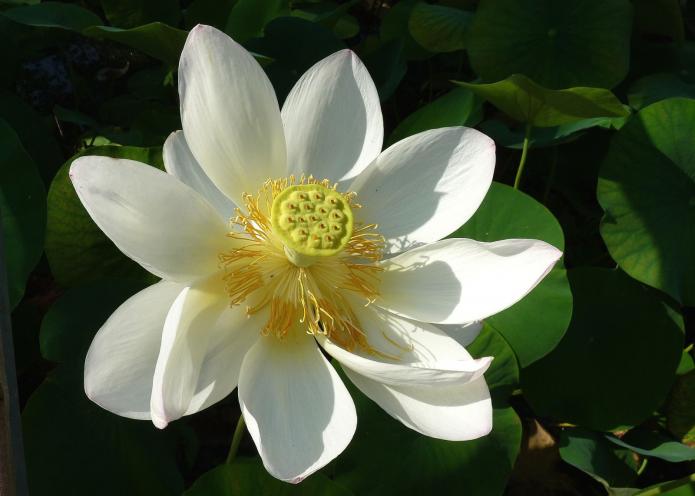 Чем отличается лотос от лилии