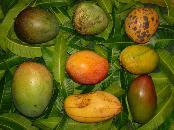 Разные плоды манго