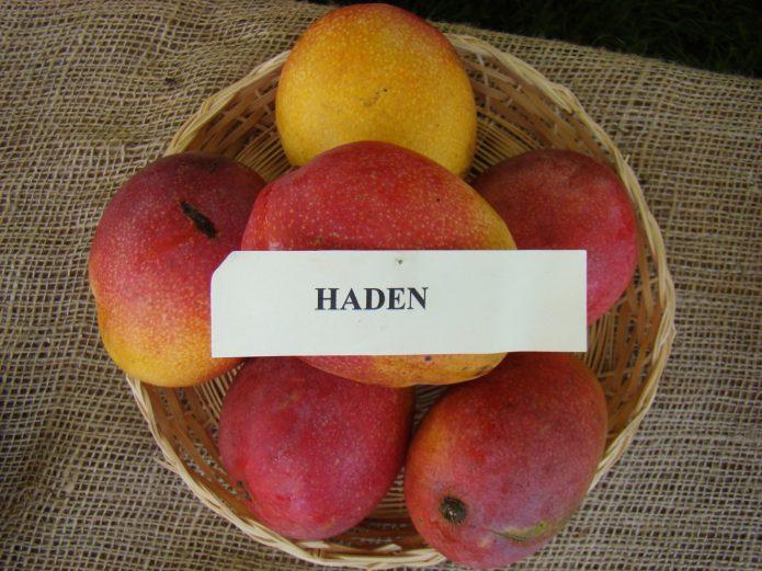 Манго Haden