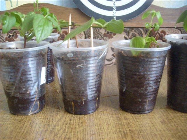 Черенки, размещённые в пластиковых стаканах с почвой для укоренения