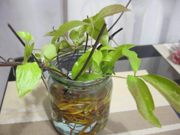Укоренение черенков в воде