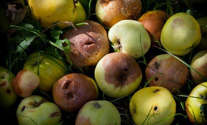 Подгнившие яблоки