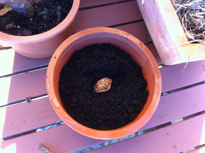 Посев косточки персика