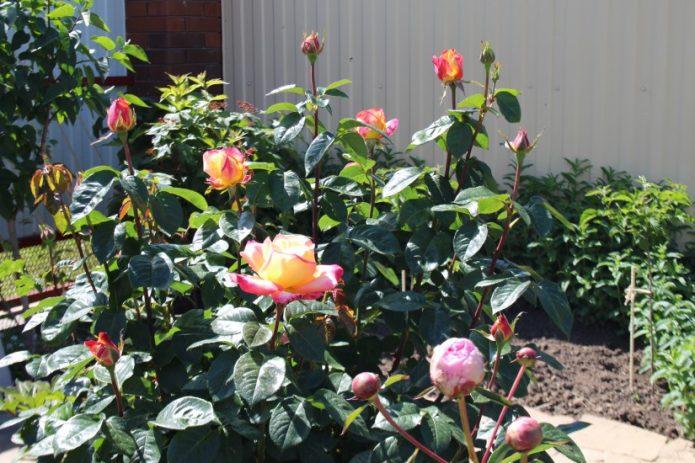 Куст розы Глория Дей у забора