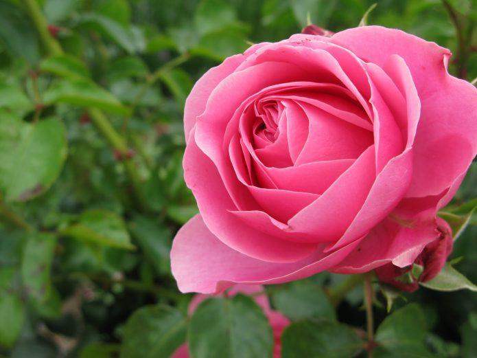 Роза красавица фестиваля