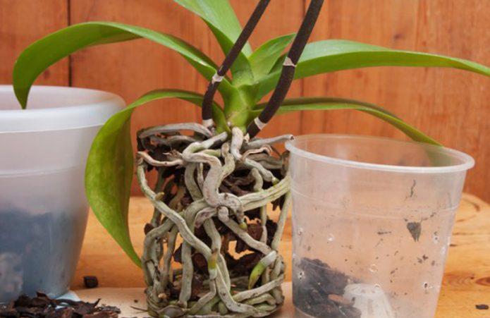 Орхидея с корнями без горшка