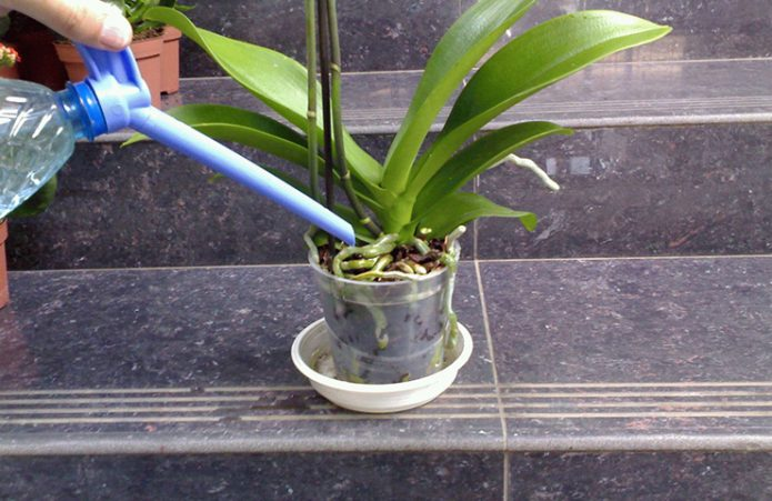 Орхидею поливают из лейки