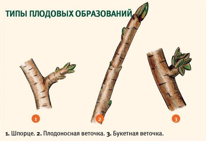 Типы плодоносных образований сливы
