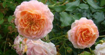 Цветки розы сорта Полька