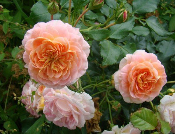 Полька: элегантная крупноцветковая роза-клаймбер