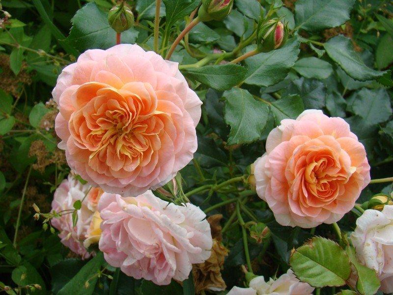 совету роза полька описание и фото могилы это места