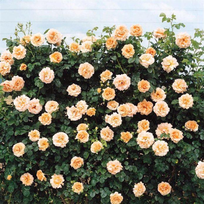 Цветущая роза Полька
