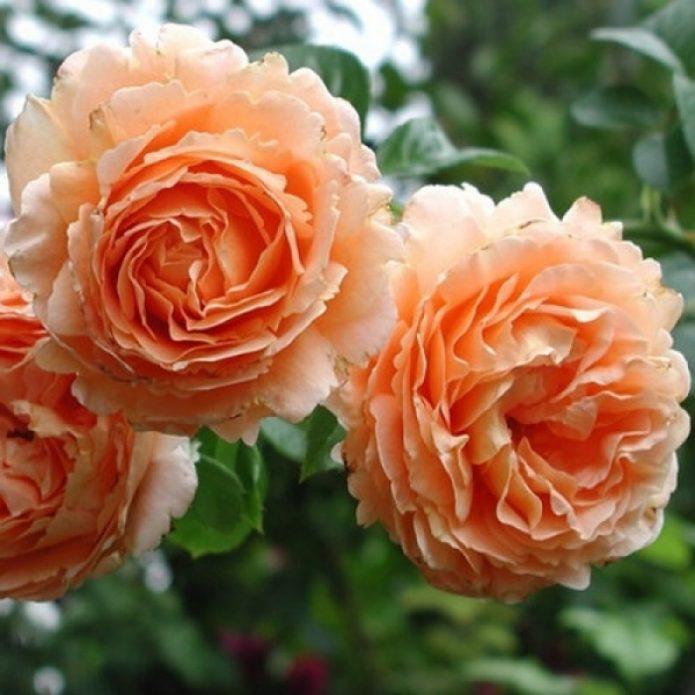 Цветки розы Полька