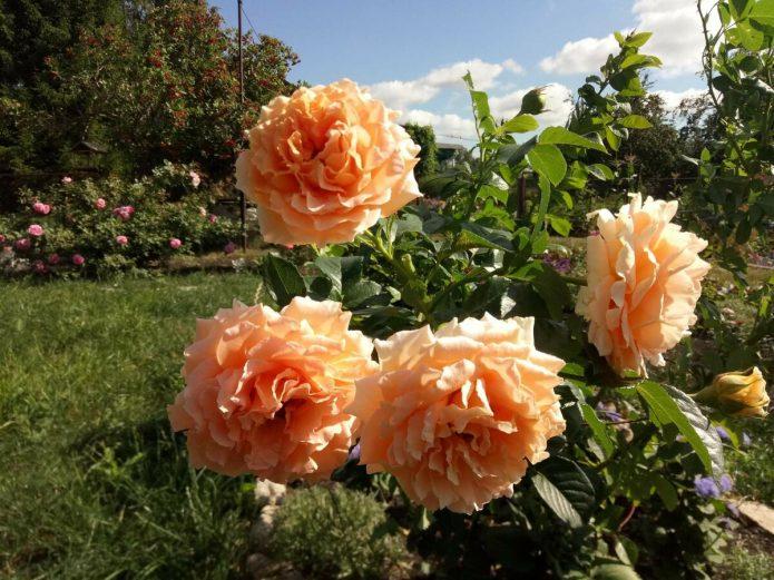 Роза Полька на солнце