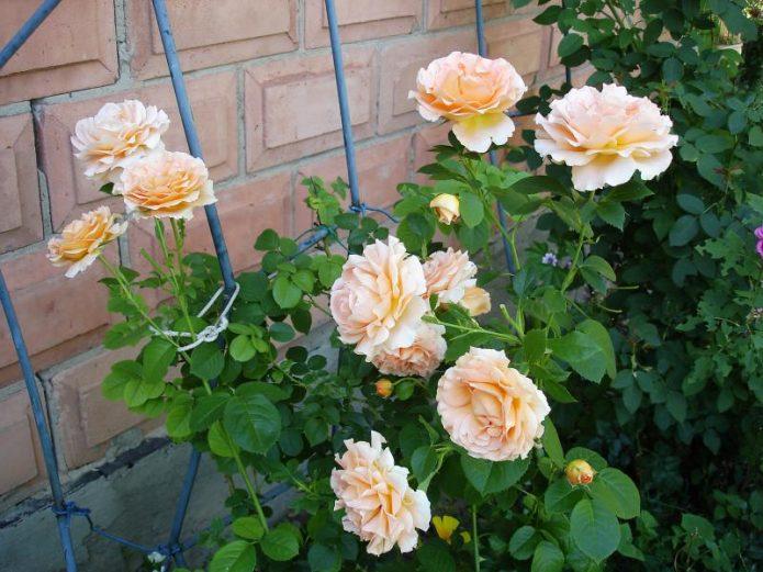 Роза Полька на опоре