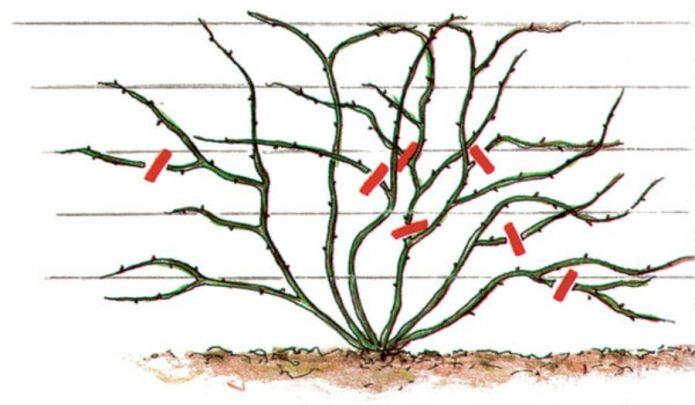Обрезка розы-клаймбера