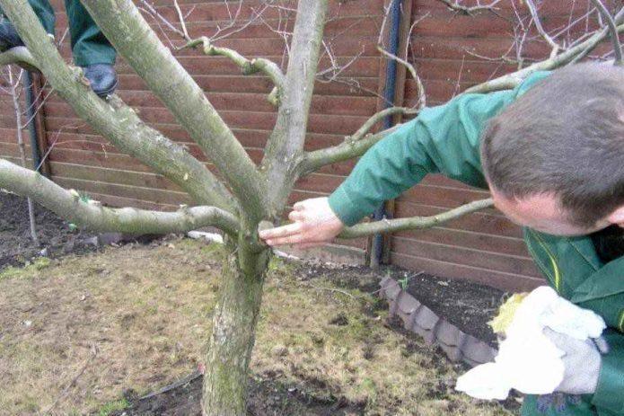 Использование садового вара при обрезке плодового дерева